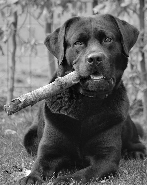 labrador retriever laying down with a stick in its mouth